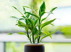 富贵竹图片,富贵竹的养殖之法