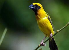 金丝雀价格,金丝雀的雌雄辨别和饲养