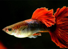孔雀鱼图片,孔雀鱼的饲养之法