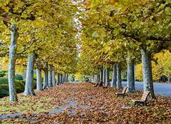 梧桐树的特点,梧桐树的种植技术和用途