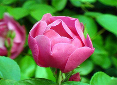 野蔷薇花语,野蔷薇的作用,爱她理所当然
