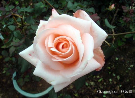 粉红玫瑰代表什么