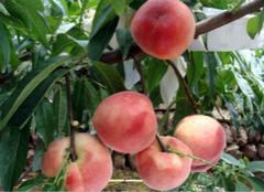 水蜜桃营养的价值,你都了解么?