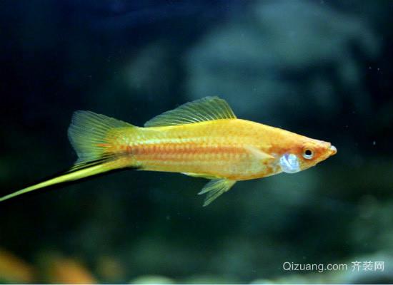 红箭鱼品种图片