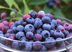 越橘与蓝莓的区别,越橘的作用及其栽培