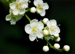 珍珠梅的养殖方法和注意事项