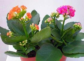 长寿花及其养殖方法介绍