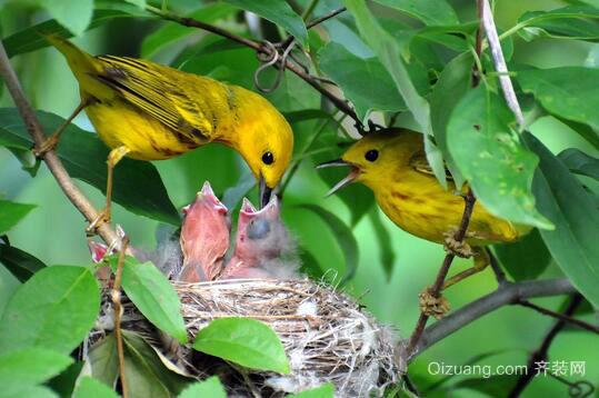黄莺欣赏图