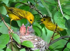 了解黄莺的生活习性和饮食,更好地饲养黄莺