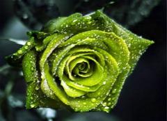 那些比较凄美的绿玫瑰传说,你都听说过么?