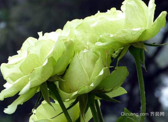 绿玫瑰效果图