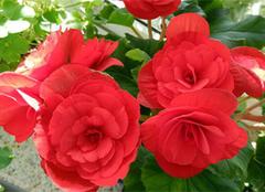 分享秋海棠图片以及种植方法与作用