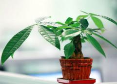 招财树的养殖方法,你还不会种吗?
