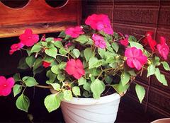 凤仙花图片,凤仙花的养殖方法和功效