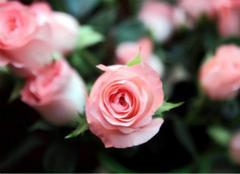 粉玫瑰的花语,表达最纯真的爱恋