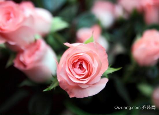 粉玫瑰的花语