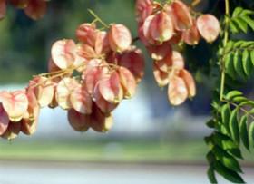 养殖摇钱树的方法有哪些?