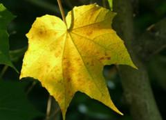 你知道梧桐树的叶子像什么吗?
