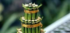 富贵竹的养殖方法,你记住了么?