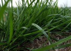 你知道乌拉草的特点是什么吗?