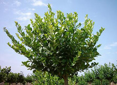 关于冬青树的资料,你了解吗?
