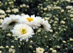 你知道杭白菊的功效是什么吗?
