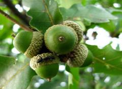 橡子树的种植方法,你学会了么?