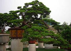 松树的种类,你造吗?