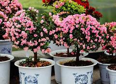 分享杜鹃花盆栽养殖技巧