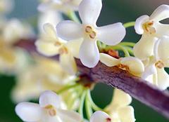 普及桂花的功效与作用、食用方法