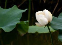 白荷花的种植方法有哪些?
