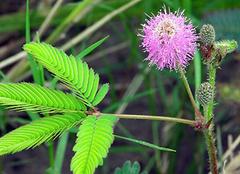 含羞草的花语及其观赏、药用价值