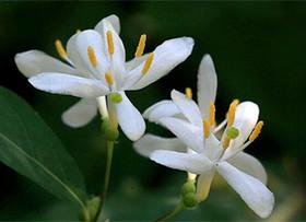 忍冬花,原来就是我们熟知的金银花啊!