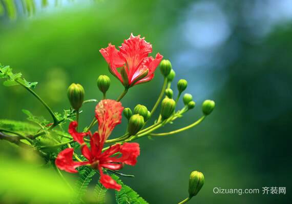 凤凰树观赏图