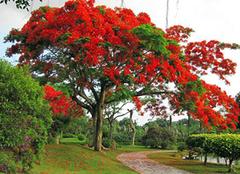 凤凰树图片,凤凰树的分布范围和价值介绍