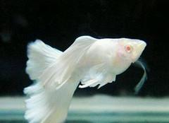 孔雀鱼品种介绍