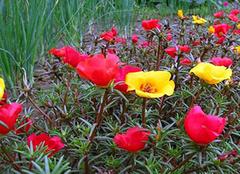太阳花图片,太阳花的生长习性以及价值