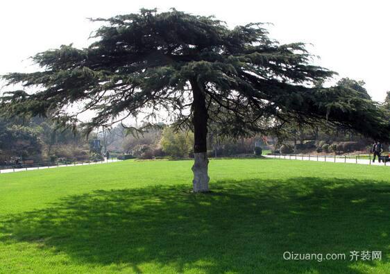 松树观赏图