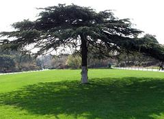 松树的种类,我们熟悉的十大松树
