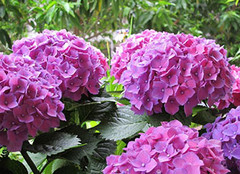 你知道绣球花的养殖方法吗?
