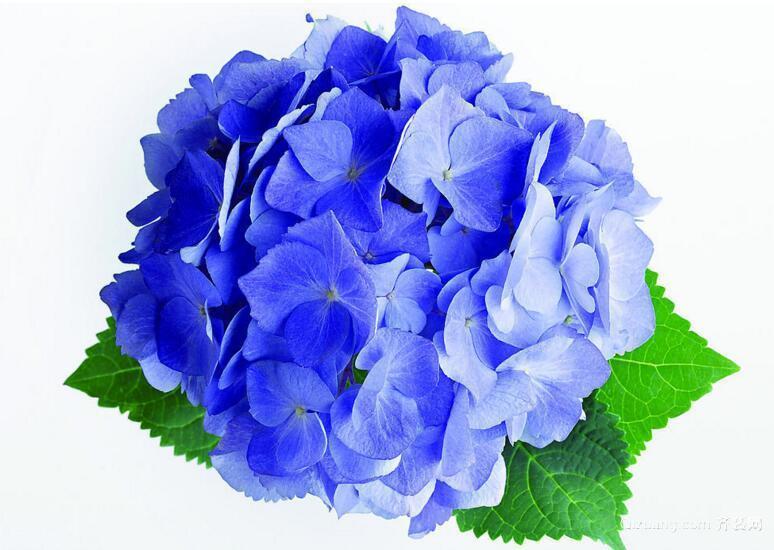 绣花球养殖效果图