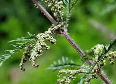 荨麻草形态特征、花语及作用介绍