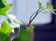 长春藤养殖方法和作用解析