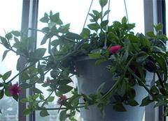 养殖吊兰,既美化环境,又净化空气