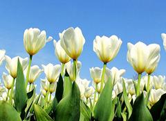 讲述白色郁金香花语和故事
