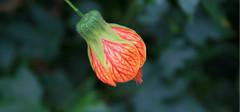 你知道风铃花的种植窍门有哪些吗?