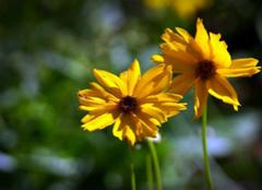 黄菊花泡茶的功效有哪些?