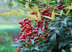 南天竹的养殖方法和作用介绍