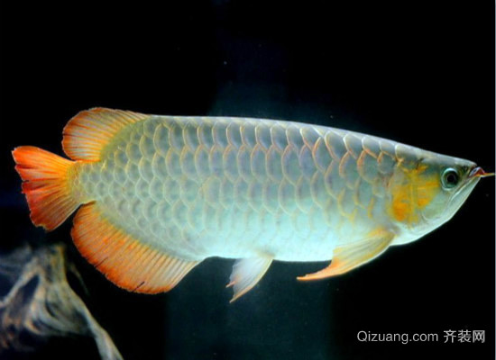 银龙鱼混养