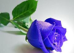 紫玫瑰花语羽传说,凄美而动人